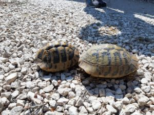 Greckie żółwie lądowe